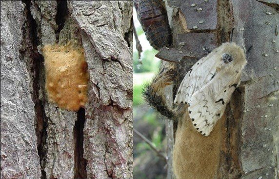 Gypsy moth removal treatment resumes Tuesday
