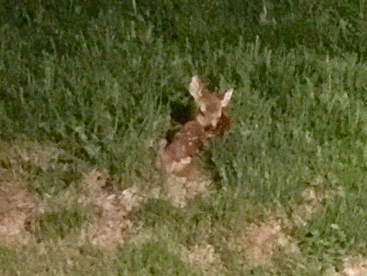 © Her friends at Wildwoods Wildlife Rehabiliation told Linda to use gloves while removing the fawn from the sewer grate, and then gently lay it down in a grassy area away from her house.   (Photo: Linda Nervig - Summer Fun 101)