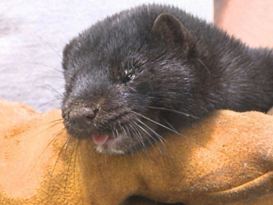 Lang Farms mink recovered by volunteer.  Photo Credit: KARE