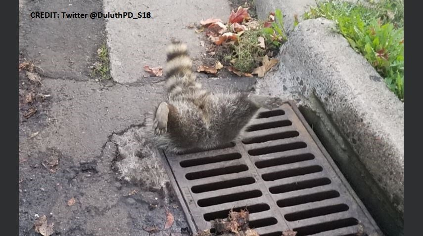 Duluth Police respond to trapped raccoon