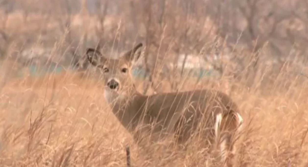 DNR announces 1st plan to manage Minnesota deer population